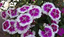 flowers in spring3